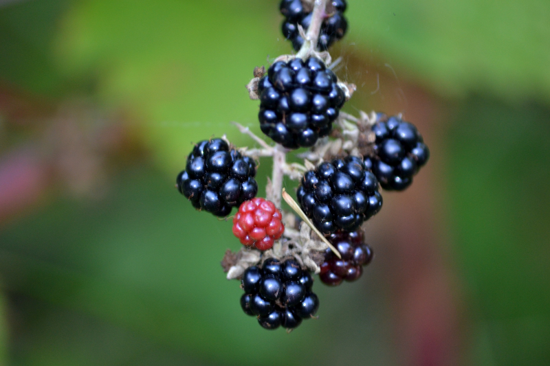 Delicious Wild Mt Hood Blackberries